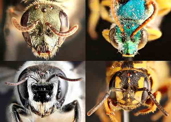 An annotated checklist of the bees (Hymenoptera: Anthophila) of San Diego County, California