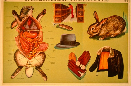 A Lesson in Civics: project proposal: found poster of rabbit anatomy