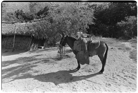 Saddled mule at Rancho San Bartolo in the Cape Sierra region