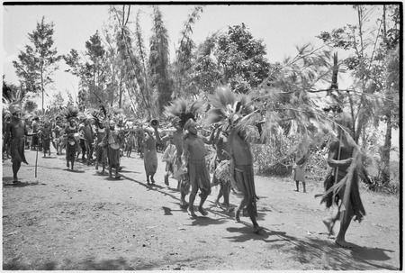Pig festival, uprooting cordyline ritual: allies carry cut casuarina tree, symbolizing dead enemy, on dance ground