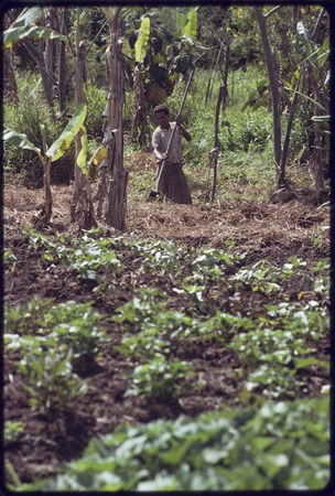 Western Highlands: woman digs in a garden, banana trees and other crops