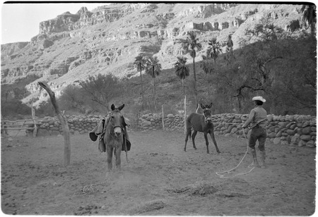 Breaking mules at Rancho San Nicolás