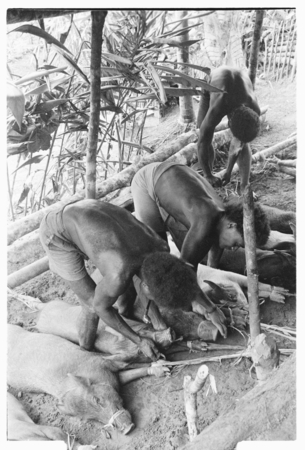 Men tying out pigs for taualea, feasting shelter, ritual.