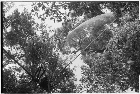 Bird net trap ('abe) in trees manned by Bui'a.