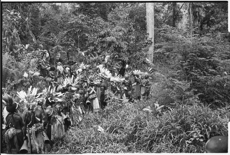 Pig festival, uprooting cordyline ritual, Tsembaga: decorated Tsembaga men and allies take uprooted plants to enemy boundary