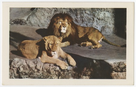 Animal Color Series From The San Diego Zoo African Lion And Lioness
