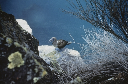 Bluefooted booby on cliff at Academy Bay, Galapagos Island during Shellback Expedition. August 10, 1952
