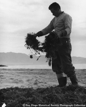 American Agar and Chemical Company worker holding seaweed on beach