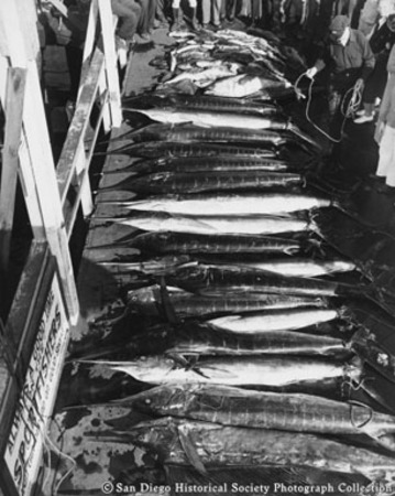 Display on dock of marlin and other fish caught off Baja California