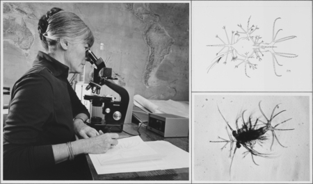 Margaret D. Knight prepares a drawing to illustrate the second protozoeal stage in the larval development of Sergestes sim...