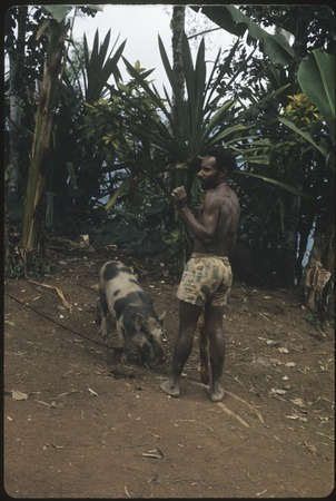 Bride price for Membe: bride's brother Kombla prepares to kill a pig