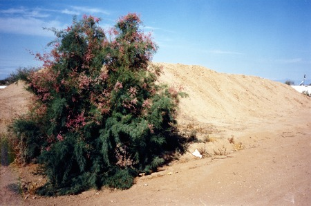 Slab City: photograph of desert tree and mound of sand