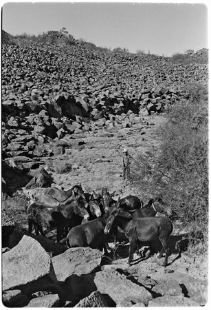 Breaking mules at Rancho El Cerro