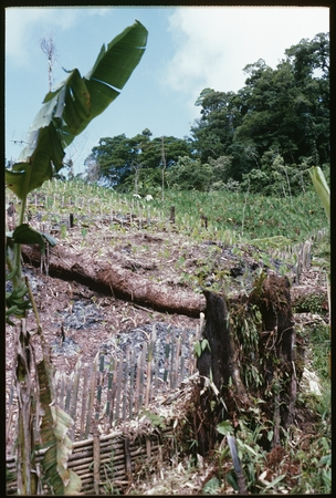Garden of young taro, with more mature crop off to the right.