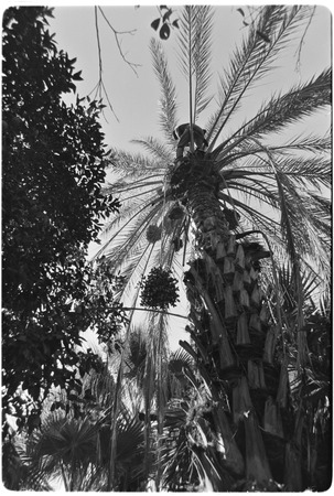 Date palms at Rancho San Martín