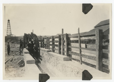 Cattle dipping and draining at the Johnson Ranch at San Antonio del Mar