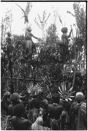 Pig festival, pig sacrifice, Tsembaga: men on ritual fence call names of allies, men below present packets of salted pork ...