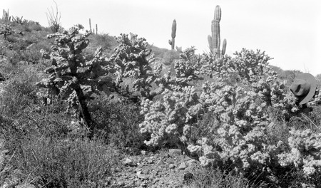 Cholla cactus on slope behind mission